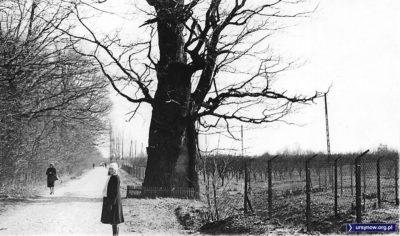 Nowoursynowska i dąb Mieszko. Za płotem po prawej rośnie jeszcze wielki sad ciągnący się wzdłuż Rosoła. Fot. Andrzej Matuszewski