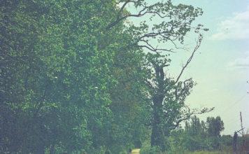 Dąb Mieszko przy Nowoursynowskiej. Po lewej Park Natoliński, po prawej jeszcze chaszcze i krzaki czekające na zabudowę. Fot. Andrzej Kubik